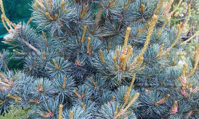 Сосна мелкоцветковая Негиши (Pinus parviflora Negishi) ФОТО Питомник растений Природа Priroda (24)