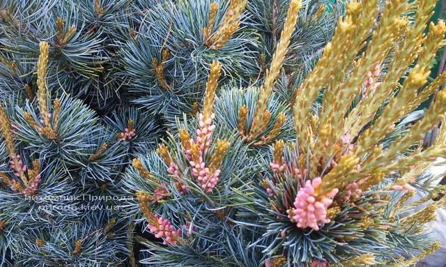 Сосна мелкоцветковая Негиши (Pinus parviflora Negishi) ФОТО Питомник растений Природа Priroda (25)