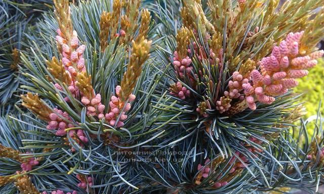 Сосна мелкоцветковая Негиши (Pinus parviflora Negishi) ФОТО Питомник растений Природа Priroda (28)