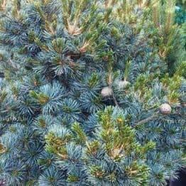 Сосна мелкоцветковая Негиши (Pinus parviflora Negishi) ФОТО Питомник растений Природа Priroda (32)