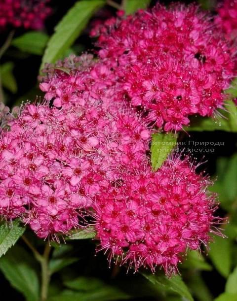 Cпірея японська Ентоні Ватерер (Spiraea japonica Аnthony Waterer) ФОТО Розплідник рослин Природа Priroda
