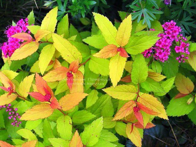 Спірея японська Голдфлейм (Spiraea japonica Goldflame) ФОТО Розплідник рослин Природа Priroda (11)