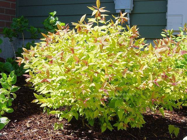 Спірея японська Голдфлейм (Spiraea japonica Goldflame) ФОТО Розплідник рослин Природа Priroda (14)