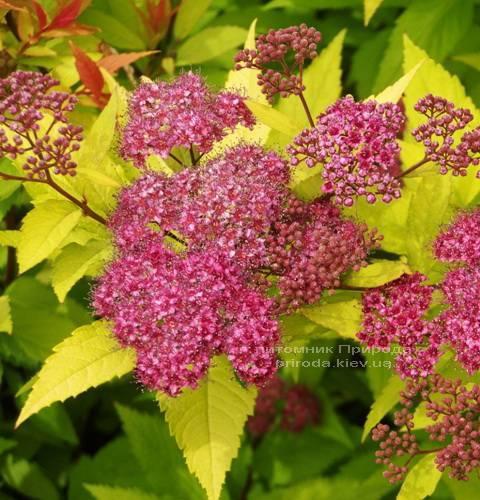 Спирея японская Голдфлейм (Spiraea japonica Goldflame) ФОТО Питомник растений Природа Priroda (12)