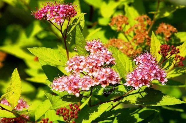 Спирея японская Голдфлейм (Spiraea japonica Goldflame) ФОТО Питомник растений Природа Priroda (16)