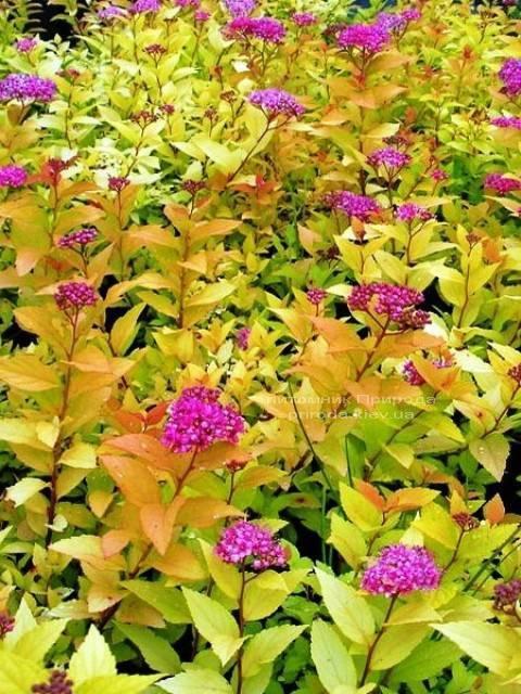 Спірея японська Голдфлейм (Spiraea japonica Goldflame) ФОТО Розплідник рослин Природа Priroda (13)