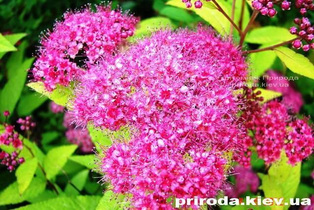 Спірея японська Голдмаунд (Spiraea japonica Goldmound) ФОТО Розплідник рослин Природа Priroda (19)