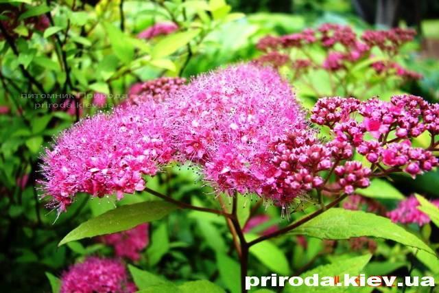 Спірея японська Голдмаунд (Spiraea japonica Goldmound) ФОТО Розплідник рослин Природа Priroda (20)