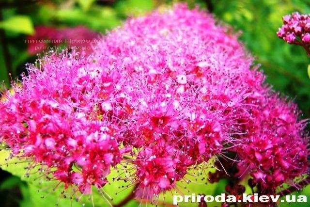 Спірея японська Голдмаунд (Spiraea japonica Goldmound) ФОТО Розплідник рослин Природа Priroda (21)