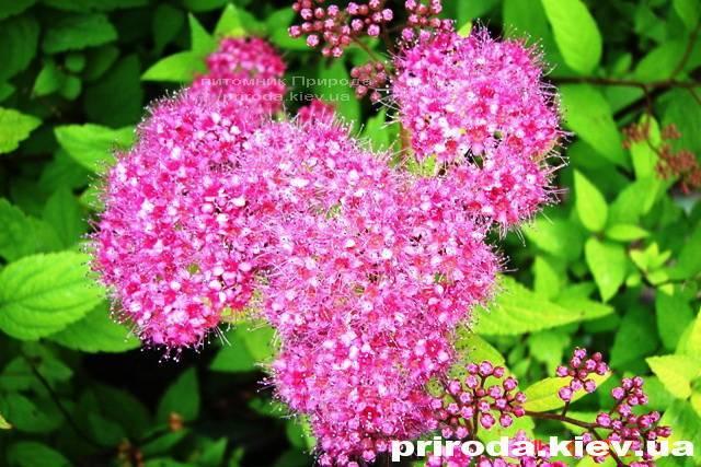 Спирея японская Голдмаунд (Spiraea japonica Goldmound) ФОТО Питомник растений Природа Priroda (25)