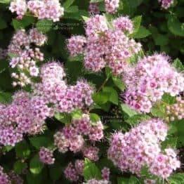 Спірея японська Літл Принцес (Spiraea japonica Little Princess) ФОТО Розплідник рослин Природа Priroda (5)