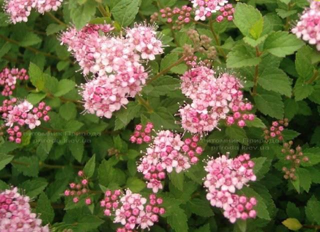 Спирея японская Литл Принцесс (Spiraea japonica Little Princess) ФОТО Питомник растений Природа Priroda (7)