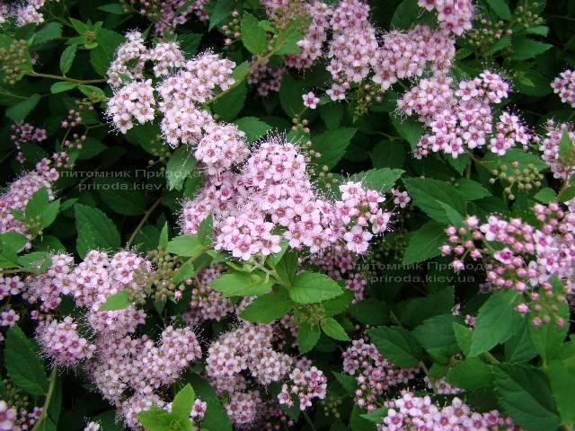 Спирея японская Литл Принцесс (Spiraea japonica Little Princess) ФОТО Питомник растений Природа Priroda (9)