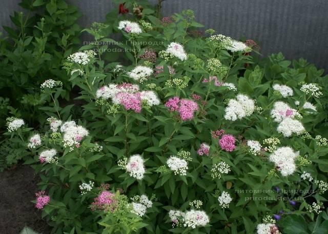 Спирея японская Дженпей Широбана (Spiraea japonica Genpei Shirobana) ФОТО Питомник растений Природа Priroda (3)