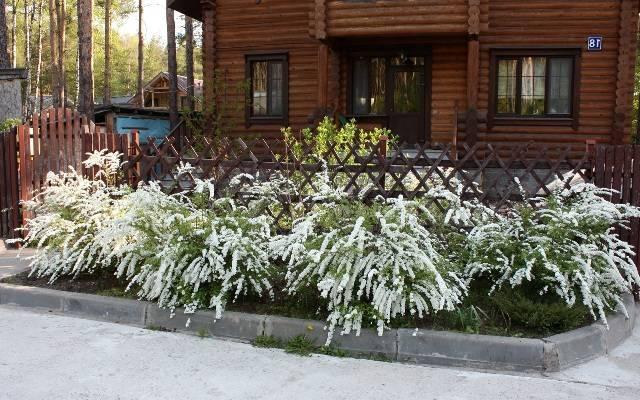 Спірея сіра Грефшейм (Spiraea cinerea Grefsheim) ФОТО Розплідник рослин Природа Priroda (32)