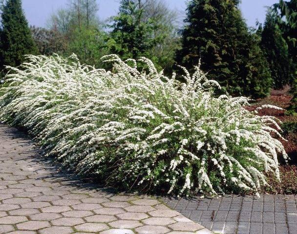 Спирея серая Грефшейм (Spiraea cinerea Grefsheim) ФОТО Питомник растений Природа Priroda (34)