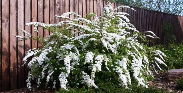 Спирея серая Грефшейм (Spiraea cinerea Grefsheim) ФОТО Питомник растений Природа Priroda (36)