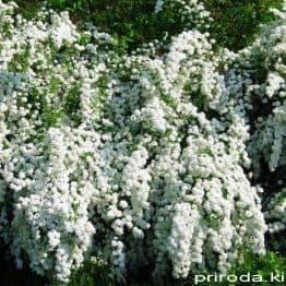 Спирея Вангутта (Spiraea vanhouttei) ФОТО Питомник растений Природа Priroda (29)