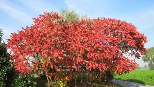 Сумах оленерогий / Уксусное дерево (Rhus typhina) ФОТО Питомник растений Природа Priroda (5)
