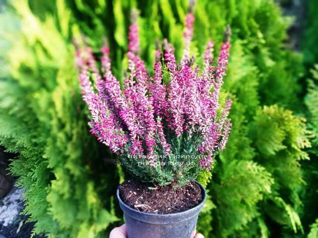 Вереск обыкновенный (Calluna vulgaris) ФОТО Питомник растений Природа Priroda (11)