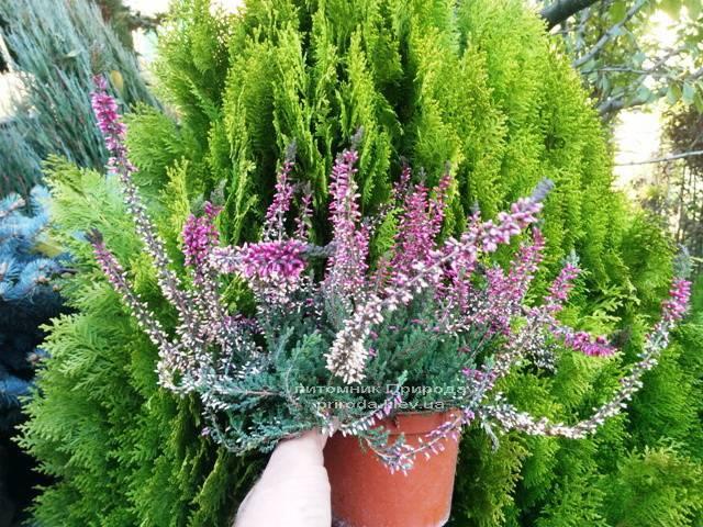 Вереск обыкновенный (Calluna vulgaris) ФОТО Питомник растений Природа Priroda (14)