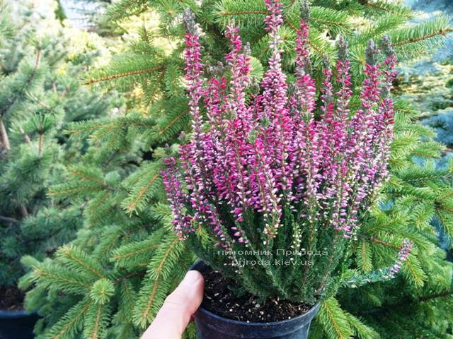 Вереск обыкновенный (Calluna vulgaris) ФОТО Питомник растений Природа Priroda (3)