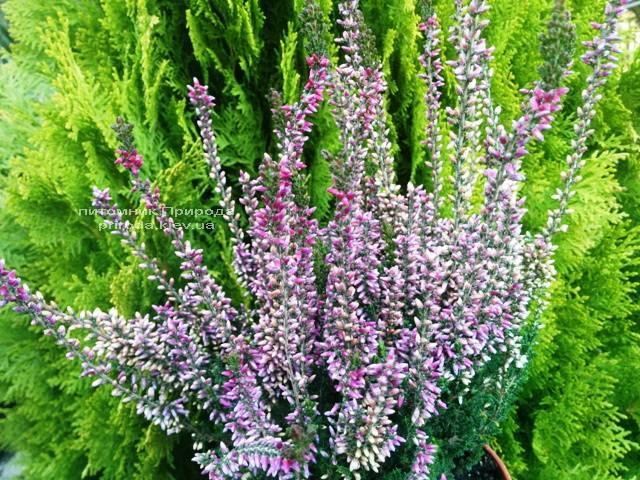 Вереск обыкновенный (Calluna vulgaris) ФОТО Питомник растений Природа Priroda (4)