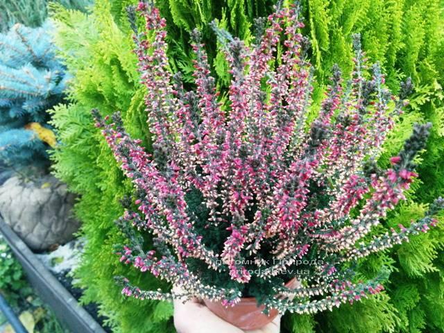 Вереск обыкновенный (Calluna vulgaris) ФОТО Питомник растений Природа Priroda (6)