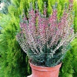 Вереск обыкновенный (Calluna vulgaris) ФОТО Питомник растений Природа Priroda (7)