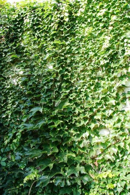 Виноград Вічі / Партеноціссус трійчастий (Parthenocissus tricuspidata Veitchii) ФОТО Розплідник рослин Природа Priroda