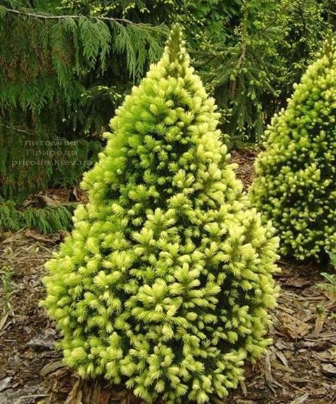 Ялина канадська сиза Дейзіз Уайт (Picea glauca Daisys White) ФОТО Розплідник рослин Природа Priroda (123)