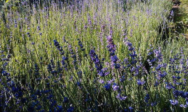 Лаванда (Lavandula) ФОТО Питомник растений Природа Priroda (7)