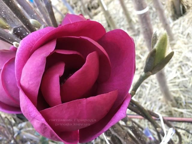 Магнолія Блек Тюліп (Magnolia Black Tulip) ФОТО Розплідник рослин Природа Priroda (68)