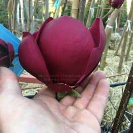 Магнолия Блэк Тюлип (Magnolia Black Tulip) ФОТО Питомник растений Природа Priroda (69)