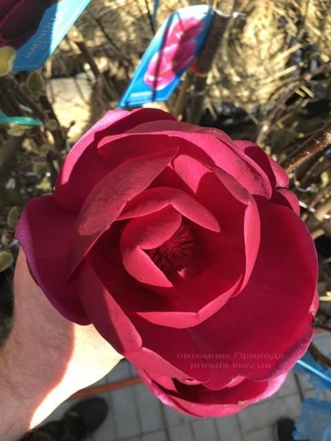 Магнолия Блэк Тюлип (Magnolia Black Tulip) ФОТО Питомник растений Природа Priroda (73)