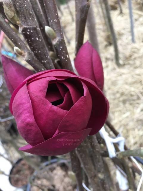 Магнолия Блэк Тюлип (Magnolia Black Tulip) ФОТО Питомник растений Природа Priroda (63)