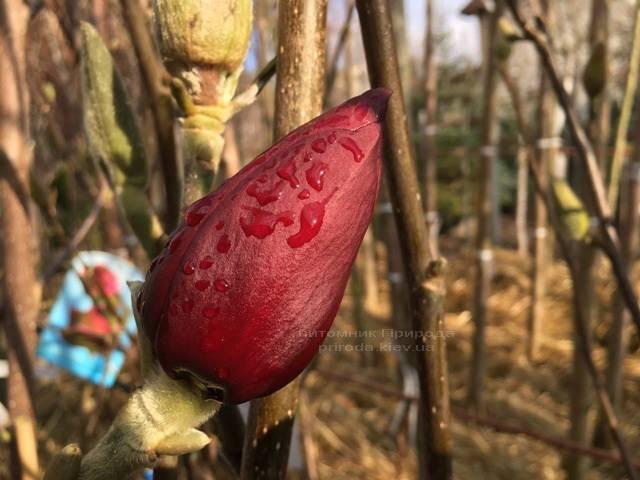 Магнолія Блек Тюліп (Magnolia Black Tulip) ФОТО Розплідник рослин Природа Priroda (56)