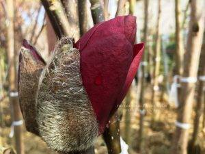Магнолия Блэк Тюлип (Magnolia Black Tulip) ФОТО Питомник растений Природа Priroda (57)