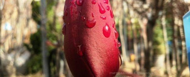 Магнолия Блэк Тюлип (Magnolia Black Tulip) ФОТО Питомник растений Природа Priroda (58)