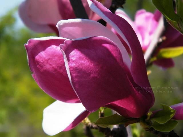 Магнолия Мач тилл Фрост ФОТО Питомник растений Природа (41)