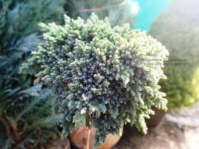 Можжевельник чешуйчатый Блю Стар на штамбе ФОТО Питомник растений Природа Priroda (117)