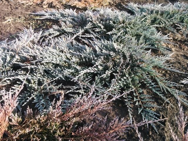 Можжевельник горизонтальный Блю Чип / Блу Чип (Juniperus horizontalis Blue Chiр) ФОТО Питомник растений Природа Priroda (112)
