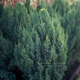 Ялівець китайський Стрикта (Juniperus chinensis Stricta) ФОТО Розплідник декоративних рослин Природа Priroda (122)
