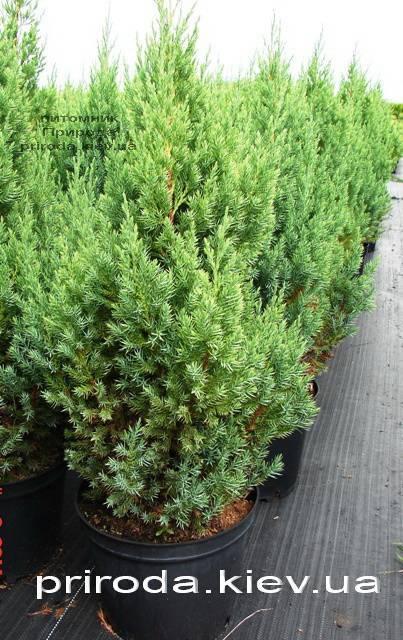 Ялівець китайський Стрикта (Juniperus chinensis Stricta) ФОТО Розплідник декоративних рослин Природа Priroda (124)