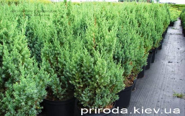 Ялівець китайський Стрикта (Juniperus chinensis Stricta) ФОТО Розплідник декоративних рослин Природа Priroda (125)