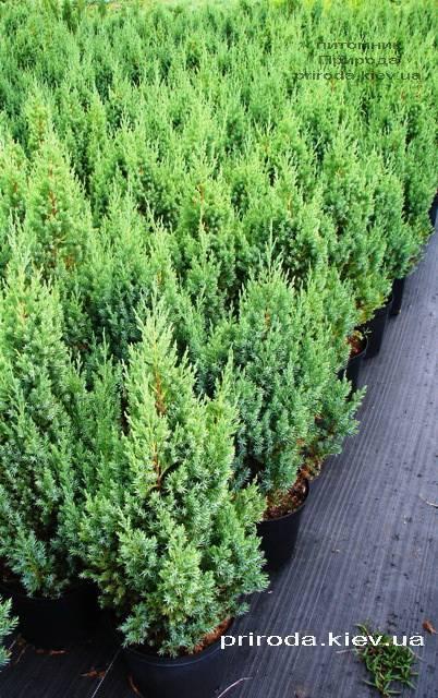 Ялівець китайський Стрикта (Juniperus chinensis Stricta) ФОТО Розплідник декоративних рослин Природа Priroda (126)