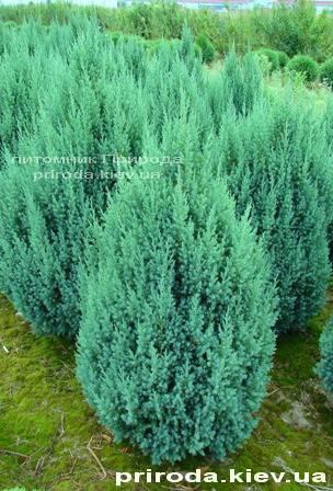 Ялівець китайський Стрикта (Juniperus chinensis Stricta) ФОТО Розплідник декоративних рослин Природа Priroda (127)