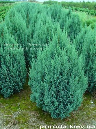 Можжевельник китайский Стрикта ( Juniperus chinensis Stricta ) ФОТО Питомник декоративных растений Природа Priroda