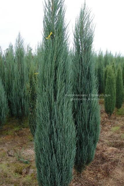 Можжевельник скальный Блю Арроу/Блю Эрроу (Juniperus scopolorum Blue Arrow) ФОТО Питомник растений Природа Priroda (103)