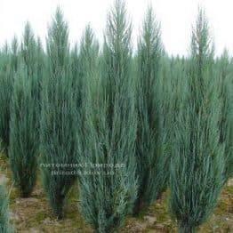 Ялівець скельний Блю Арроу / Блю Ерроу (Juniperus scopolorum Blue Arrow) ФОТО Розплідник рослин Природа Priroda (104)